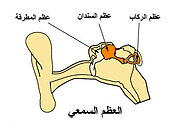 180pxAuditory ossicles 1 معلومات غريبة قد تكون جديدة عليك