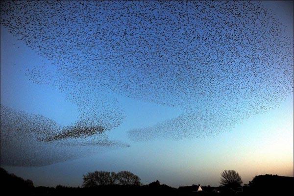 طائر الزرزور وتشكيلاته الغريبه