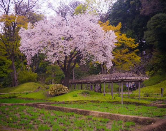 اهديكم ....ساكورا (زهور الكرز اليابان)