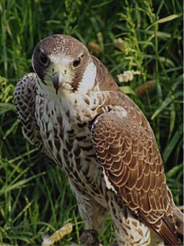 صور طيور النسر الباشق وطيور الزينه والصيد