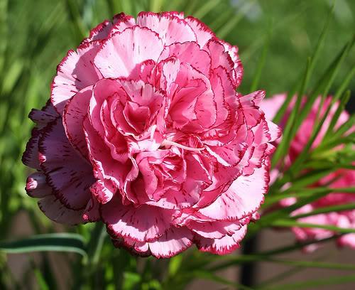 اجمل وأحلى انواع الزهور