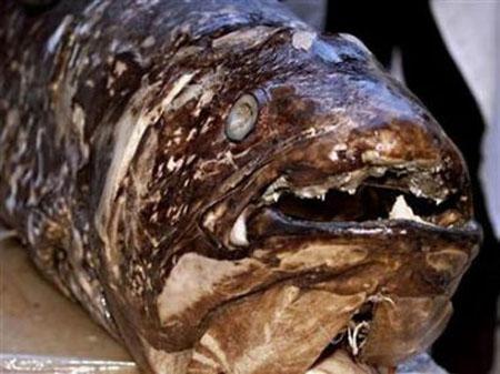 صورة سمكة كولاكانت - انقرضت قبل 80 مليون سنة
