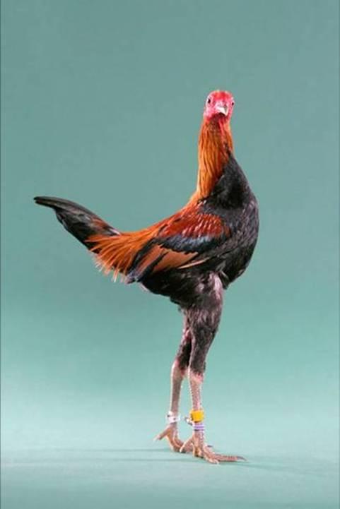 مسابقة ملكات جمال الدجاج
