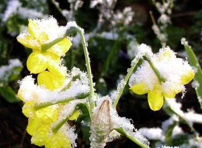 رووعة الورود والثلج