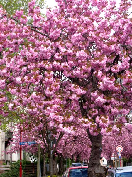 نزهتي الرائعة بين أزهار اشجار الكرز اليابانية في شارع شتريسمان بمدينة ماربورغ