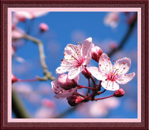 صور لأزهار الكرز...!2012