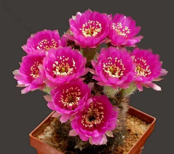 زهور الصبار