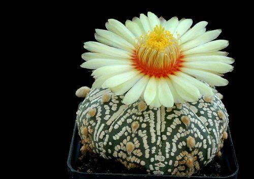 زهور النباتات الشوكية