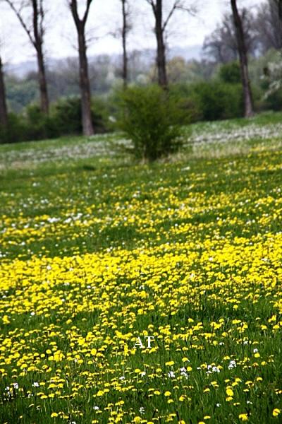 جولتنا الرائعة بين زهور سن الأسد الذهبية في يوم 3 مايس 2013