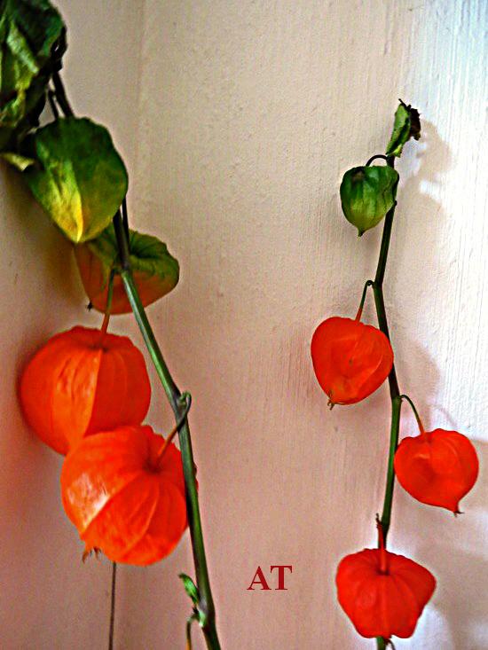 زهور عجيبة مثل الفوانيس و مخدة الأبر و الدبابيس 20 أكتوبر 2013