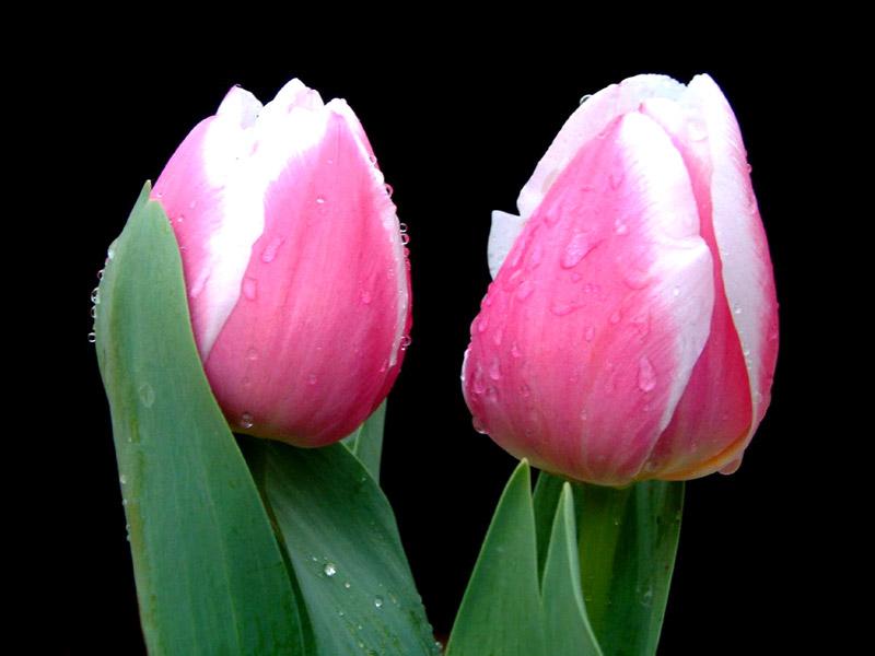صور اجمل الورود جميلة كثير