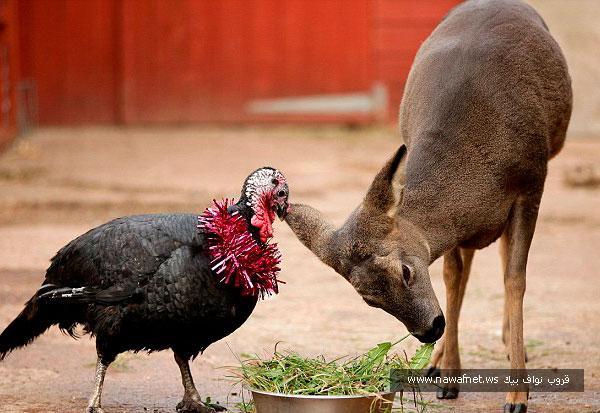 دجاجة رومية تقع في حب غزال