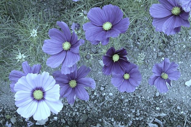 صور ورود زهور بنفسجية روعة