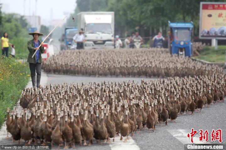 مسيرة من 5 الاف بطة للتنزه في الصين
