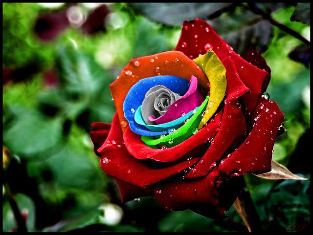 ازهار بالوان قوس قزح