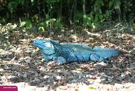 الإغوانا الزرقاء