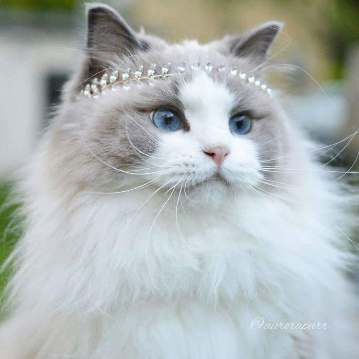 القطه السويدية Aurora