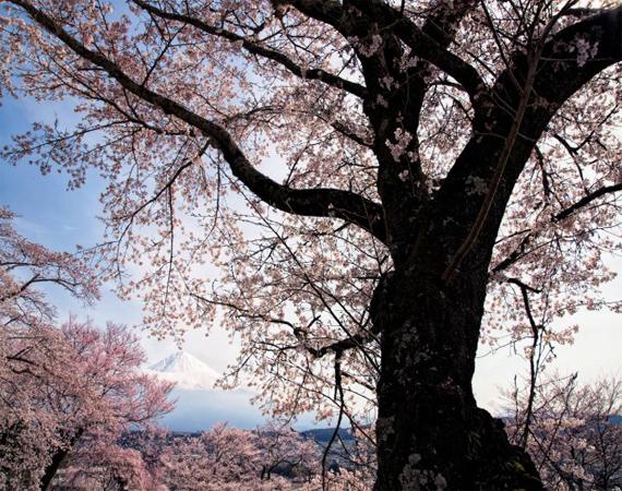 زهور الكرز اليابان