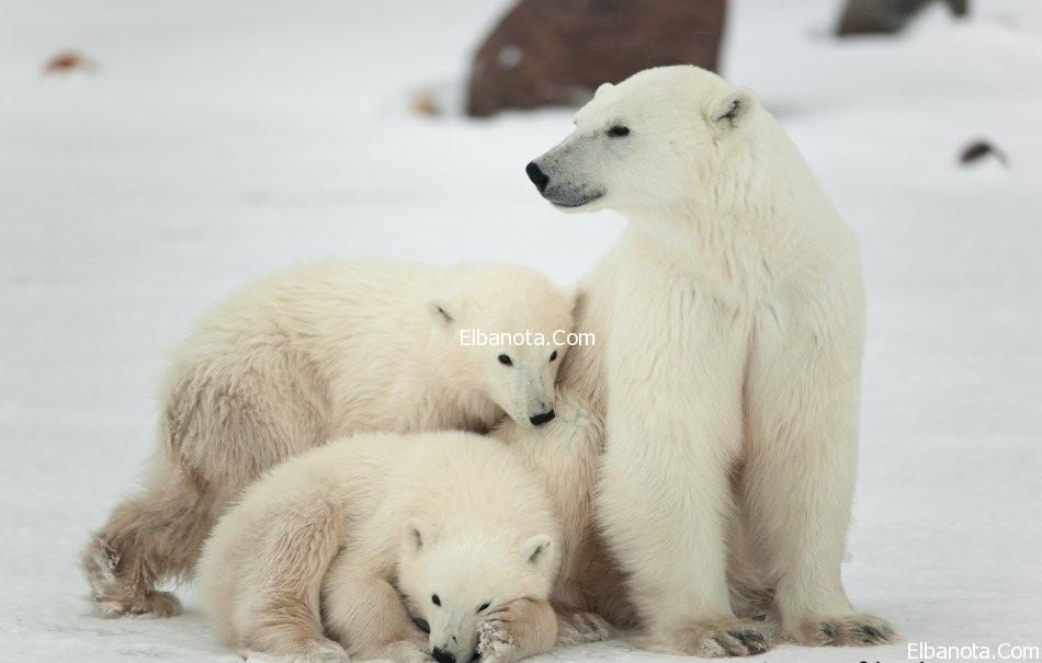 صور الدب القطبي