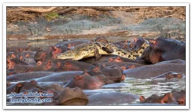 تمساح في ورطة