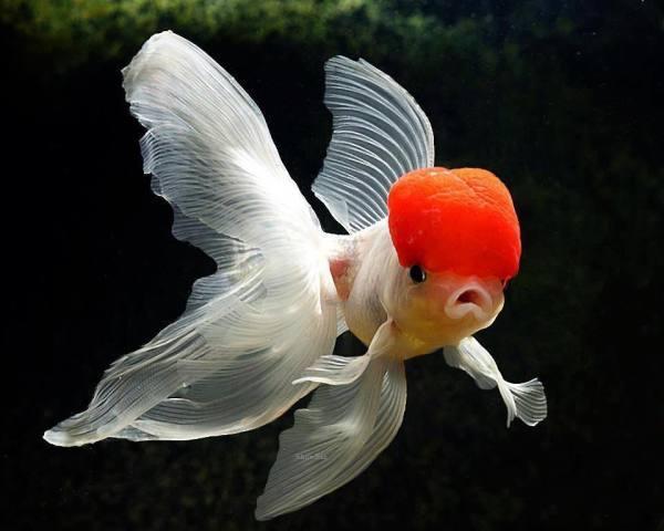 سمكة ذهبية ذات قيعة حمراء