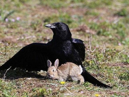غراب ينقض على أرنب صغير ويغرس مخالبه في جسده  وهكذا انتهت المعركة