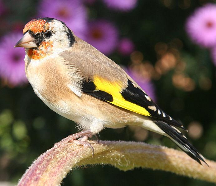W Finch Leatherhead صور طيور الن...