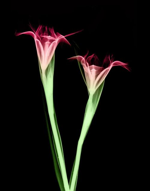 صور زهور بالليزر